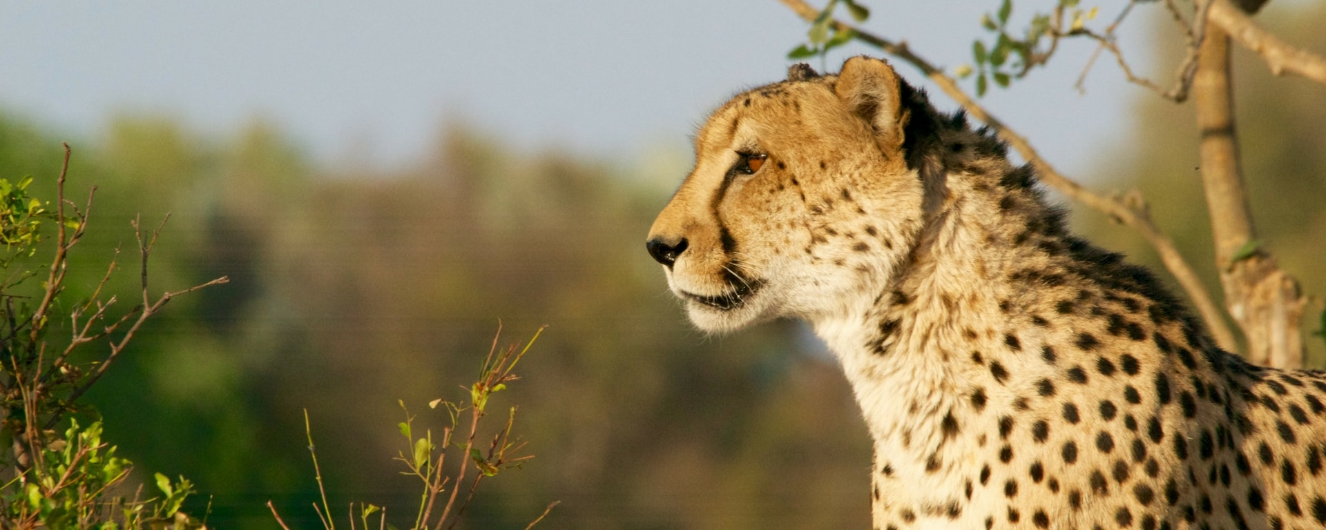 Kenyan villagers out run 2 cheetahs and capture them alive