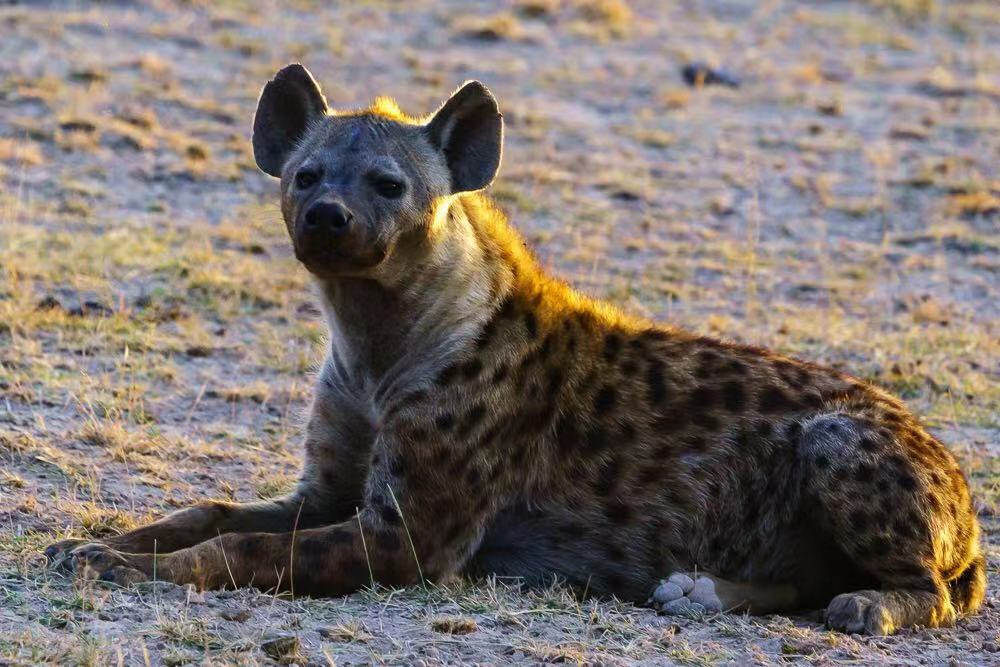 Spoted Hyena