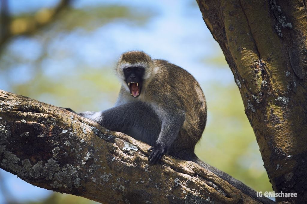 The vervet monkey