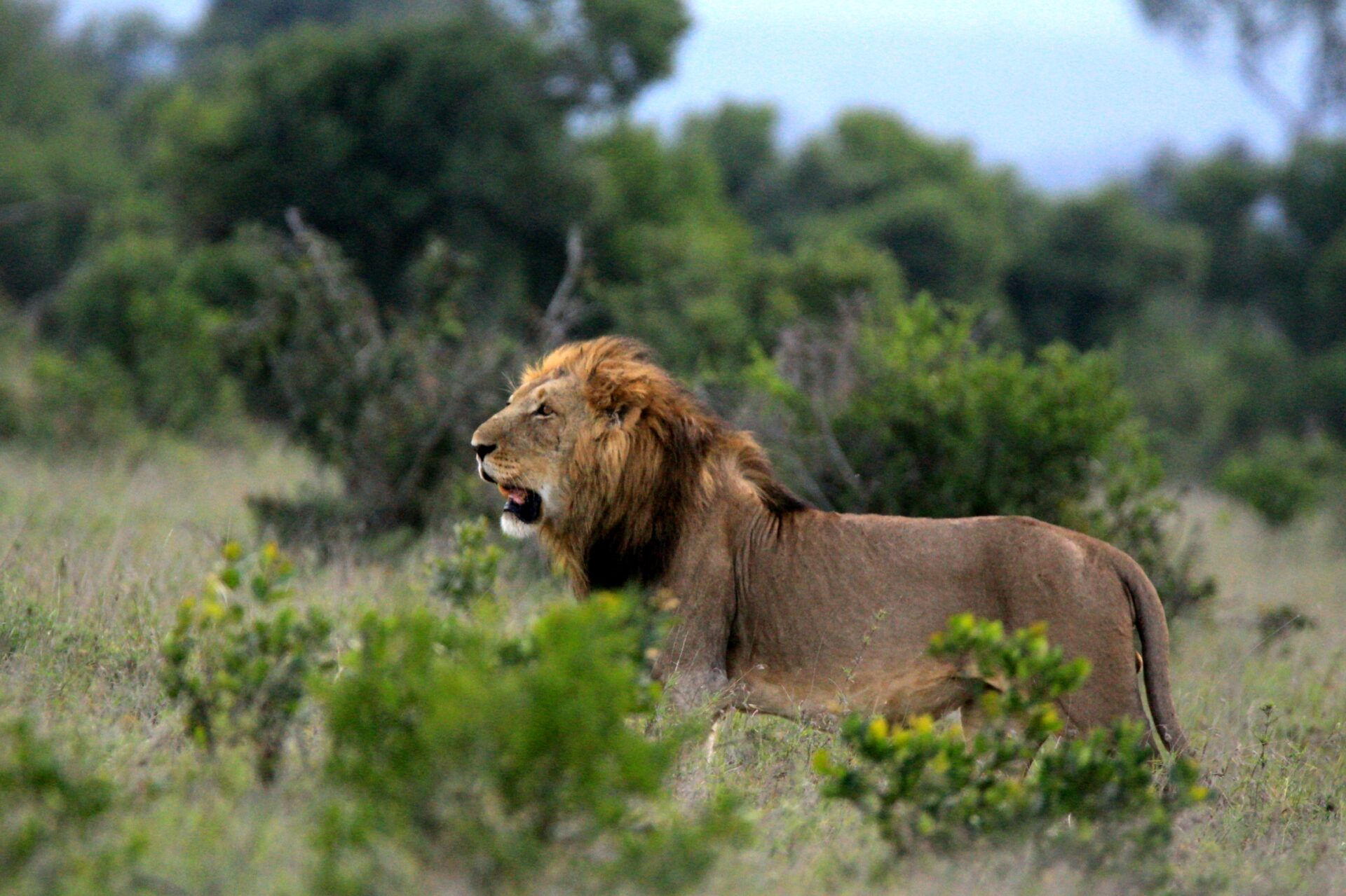A male Lion in the Savanna