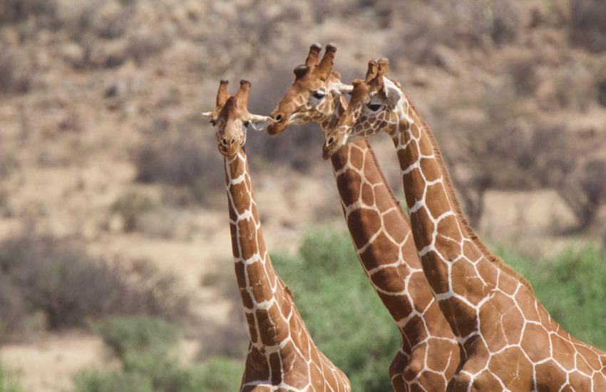 Samburu reticulated Giraffes
