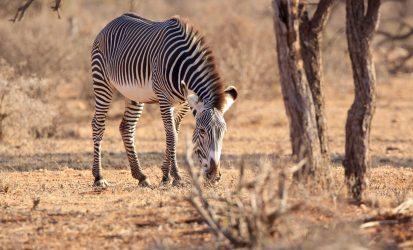 Samburu Gravey Zebra