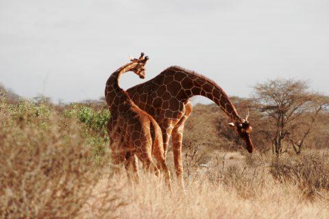 reticulated giraffe in samburu