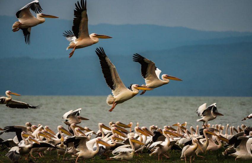 Lake Naivasha Pelicans