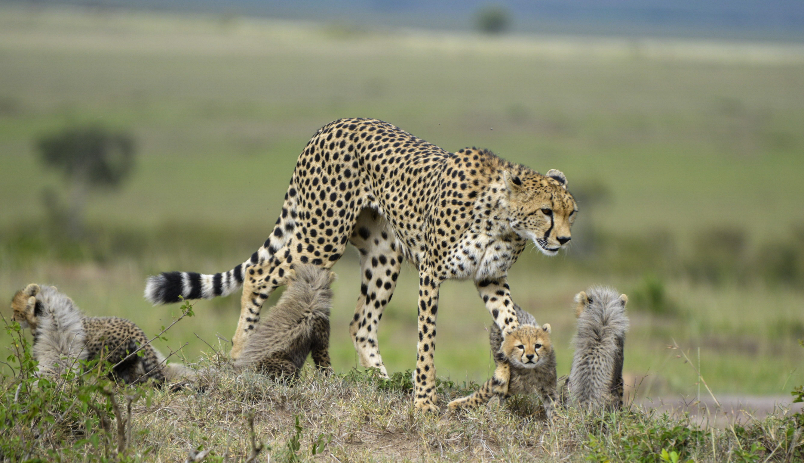 A cheetah and her cabs