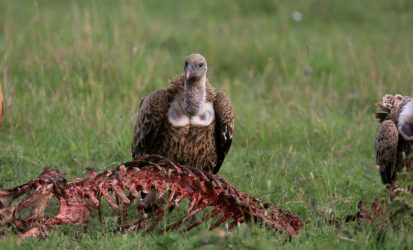 Vulture feeding on a wildebeest carcass