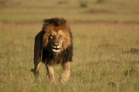 Lion in the plains of Masai Mara
