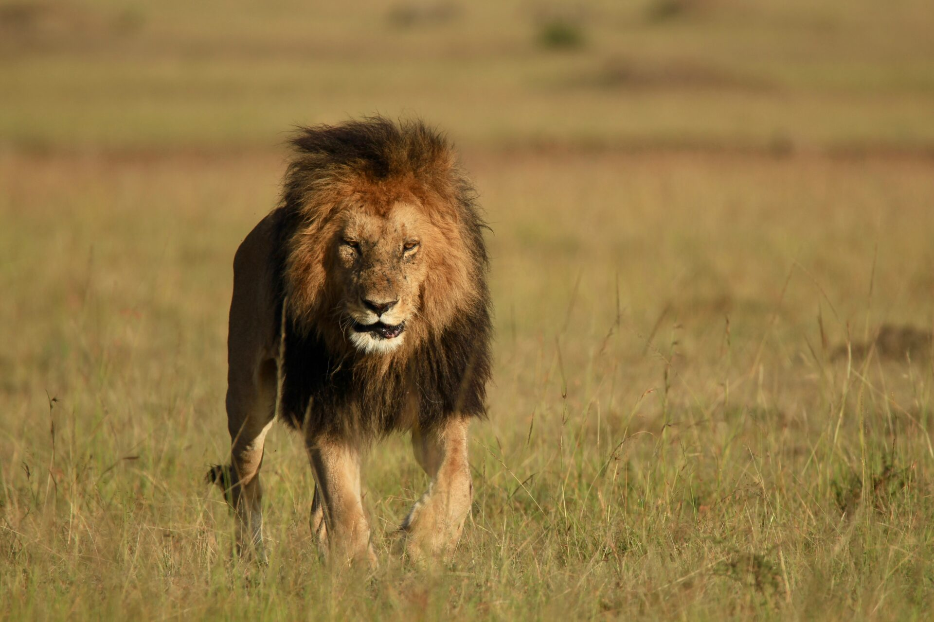 Lion in the plains of Masai Mara