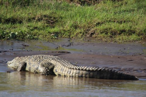 Mara river crocodile
