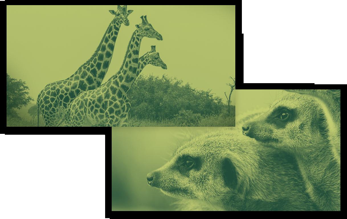 giraffe koala