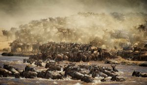 Great migration river crossing in Mara River