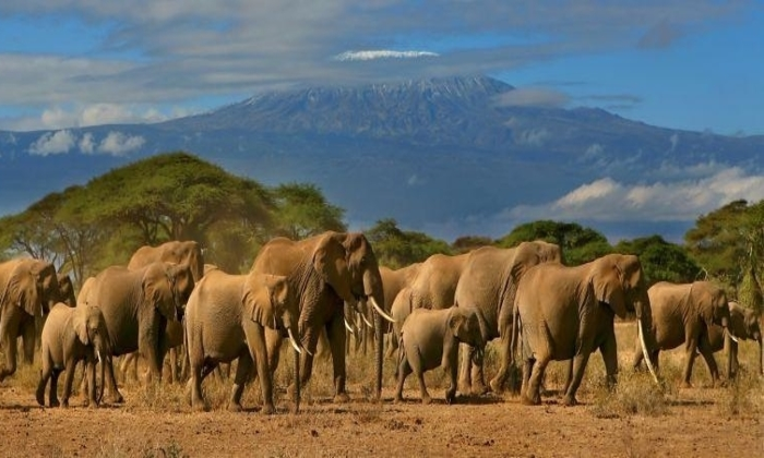 amboseli-national-park elephants