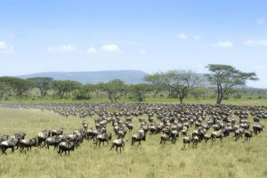 great migration where herds of wildebeests walk in the plains of Kenya - Flash Mctours and travel