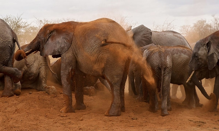 elephants dust bathing at tsavo west