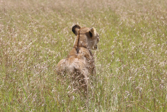 extensive kenya safari. lion in the masai mara