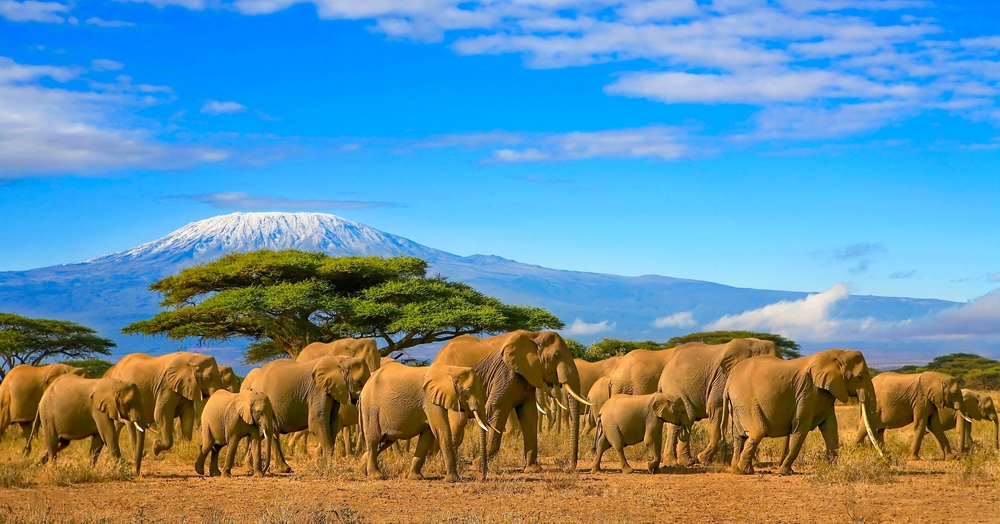 Massive elephant herds in Amboseli National Park in Kenya