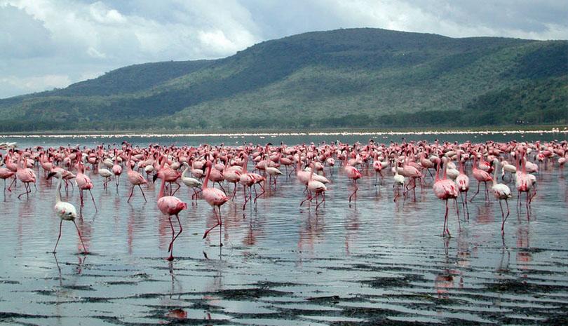 flocks of flamingoes in Lake Nakuru