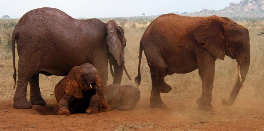 red elephants in tsavo east