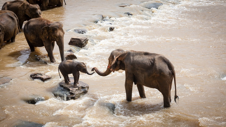elephants on river