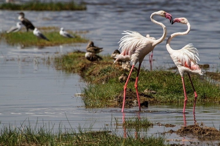 Flamingos in Lake Nakuru, one of the Top Kenya Wildlife Parks.