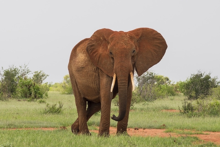 Red elephant in Tsavo, one of the Top Kenya Wildlife Parks.