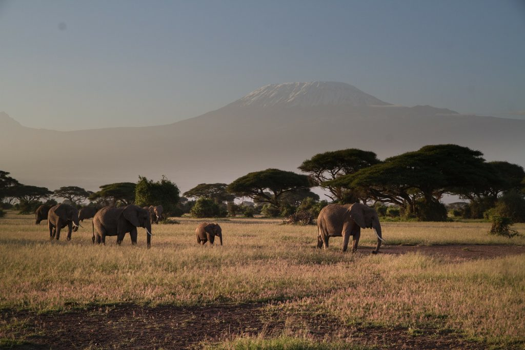 Elephants Roaming at Amboseli National Park