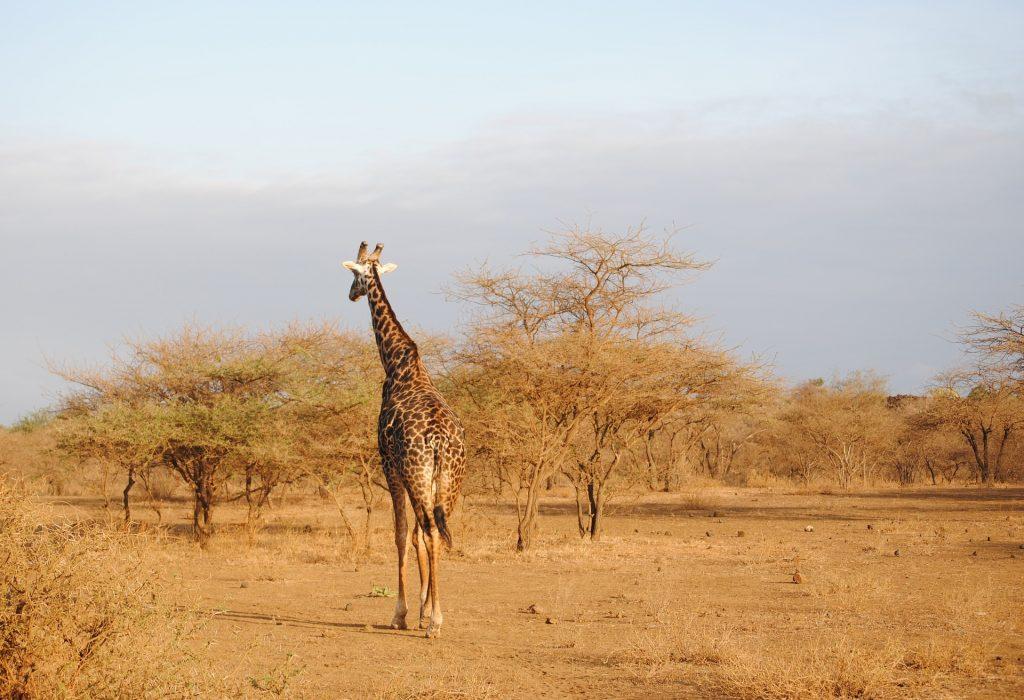 Lone Giraffe at Tsavo, Kenya