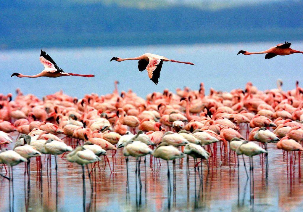 Image result for lake naivasha flamingos