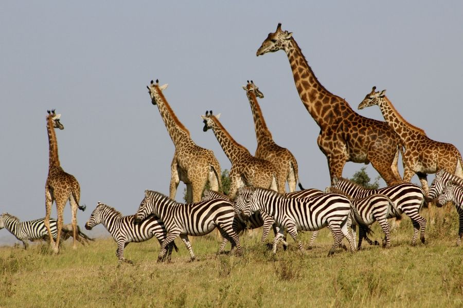 Groups of giraffes and zebras in a field in a Safari in Kenya - Flash McTours and Travel