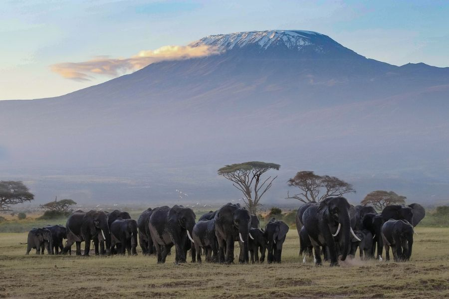 Amboseli national park where a family of elephants gather with the background of mount kilimajro - Flash McTours and Travel