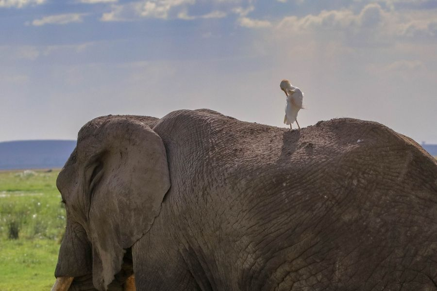 Amboseli national park where an elephant has a bird sitting on its head - Flash McTours and Travel