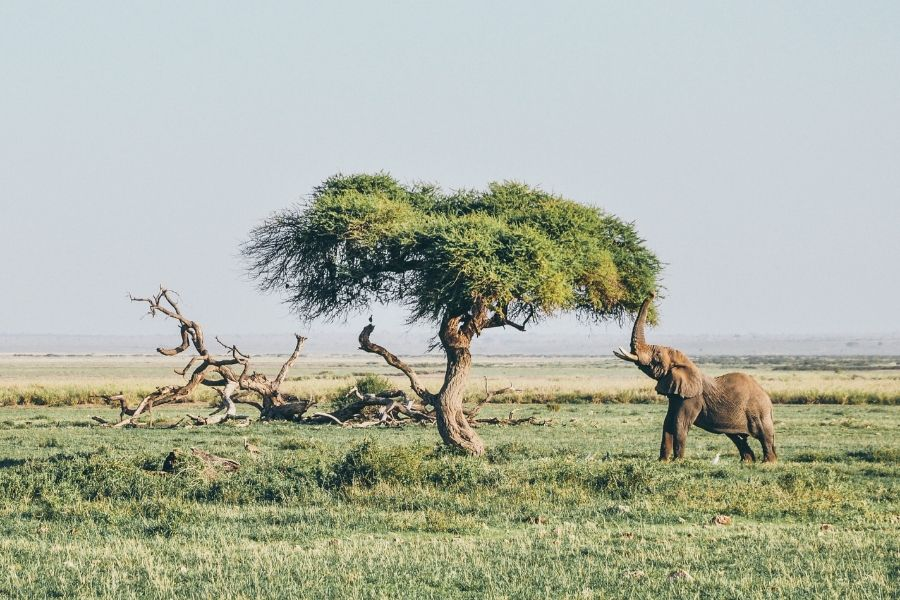 Amboseli national park where an elephant is reaching a tree to eat- Flash McTours and Travel