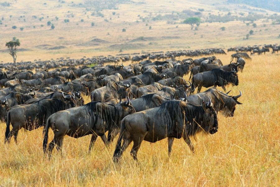 The great wildebeest migratio in Masai Mara