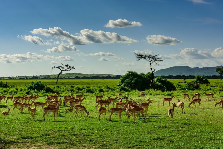 Masai Mara widlife a pack of ungulates