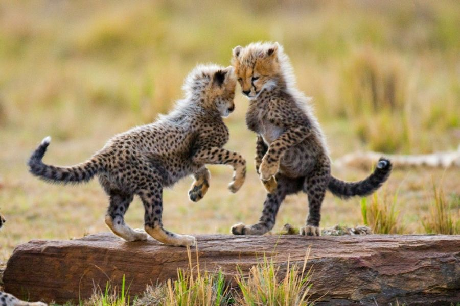 Baby leopards playing in Masai Mara