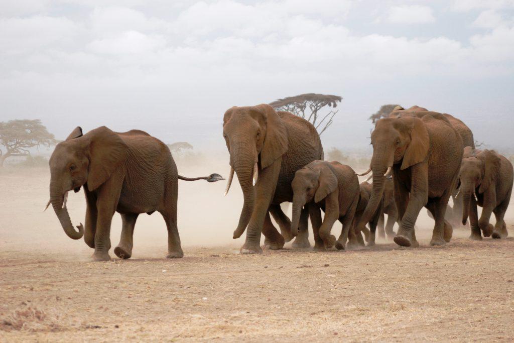 Elephants of Amboseli National Park