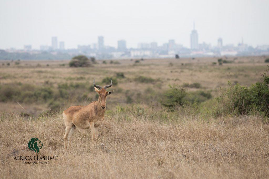 Hartebeest, with Nairobi City Back Drop